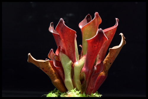 H exapendiculata