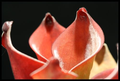 H exapendiculata I