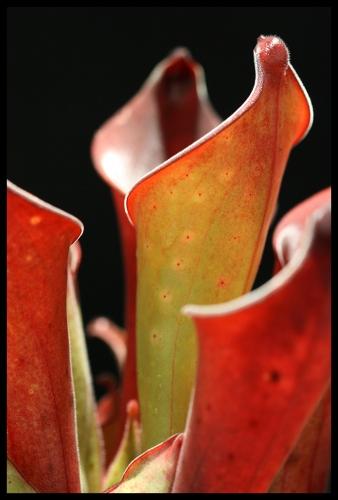H exapendiculata II