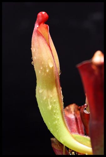 H purpurascens I