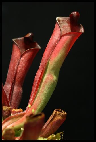 H purpurascens II