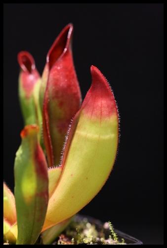H sarracenioides II