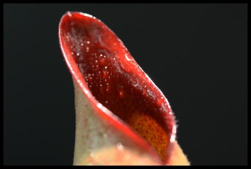 H sarracenioides III