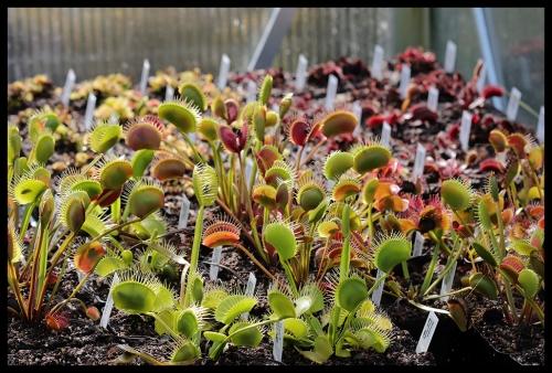 Dionaea Übersicht