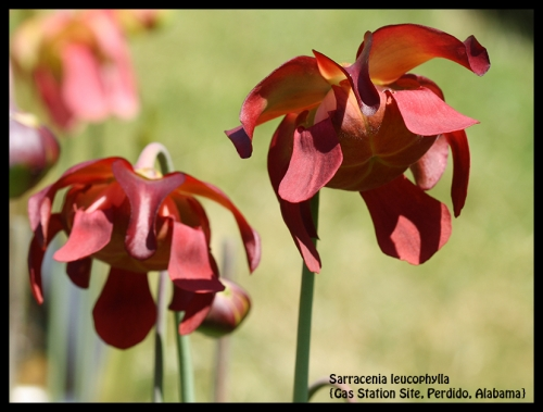 S leucophylla GSS Alabama