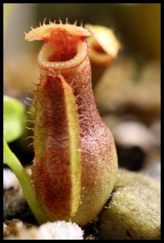 spathulata eddy I