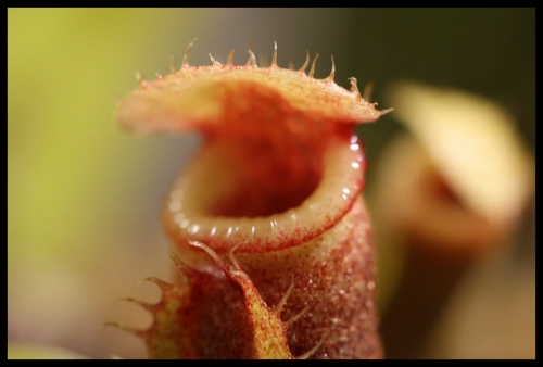 spathulata eddy II