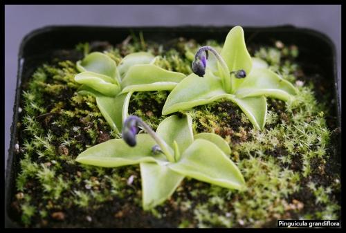 P grandiflora