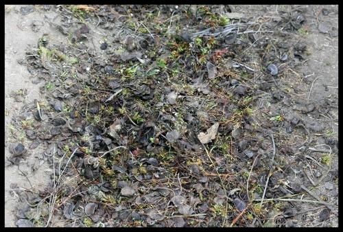 Dionaea toteFallen