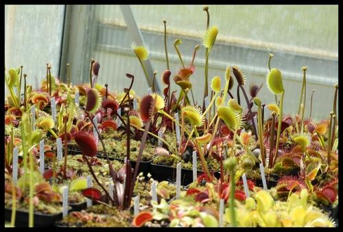 Dionaea Überblick Hochfallen