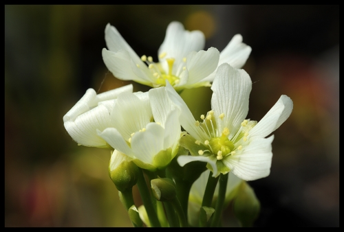 DM Blüte I