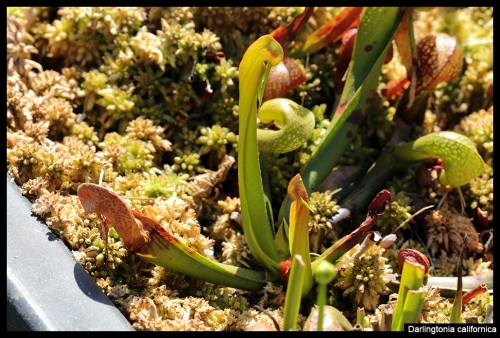 Darlingtonia californica I