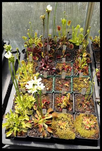 Dionaea Schale II