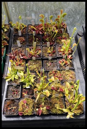 Dionaea Schale III