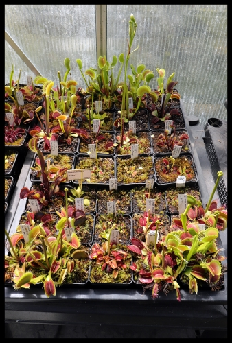 Dionaea Schale IV