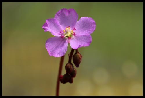 Drosera Blüte