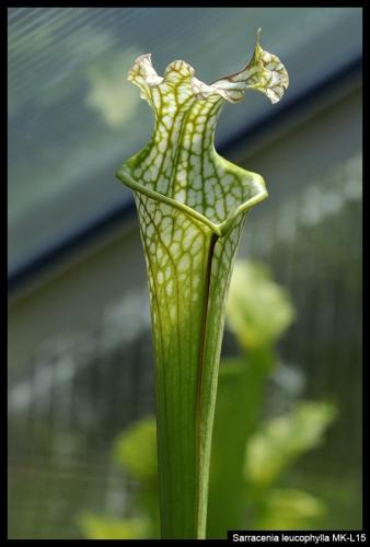 S leucophylla MKL15 I