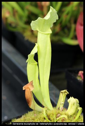 S leucophylla purpurea green