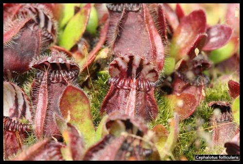 Cephalotus follicularis I