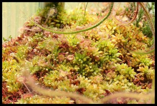 Moorschale rotundifolia