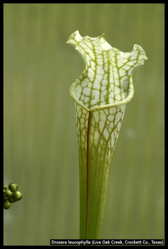 S leucophylla LOC