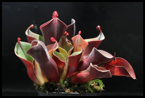 Heliamphora minor var. pilosa September 2018
