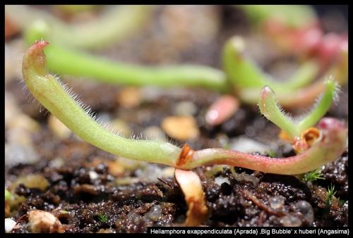 H exappendiculata BB huberi Angasima X
