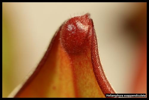 H exappendiculata Amuri