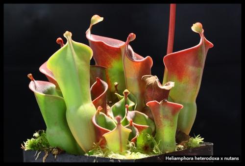 H heterodoxa nutans