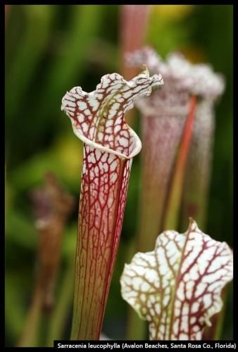 S leucophylla AvalonBeaches