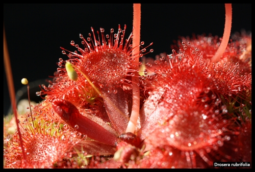 D rubrifolia I