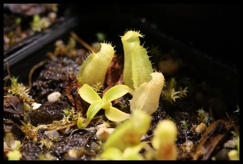 Sämlinge von Nepenthes talangensis November 2015