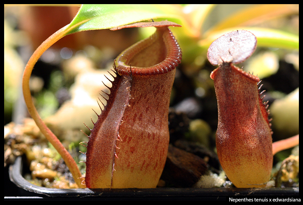 Nepenthes tenuis x edwardsiana