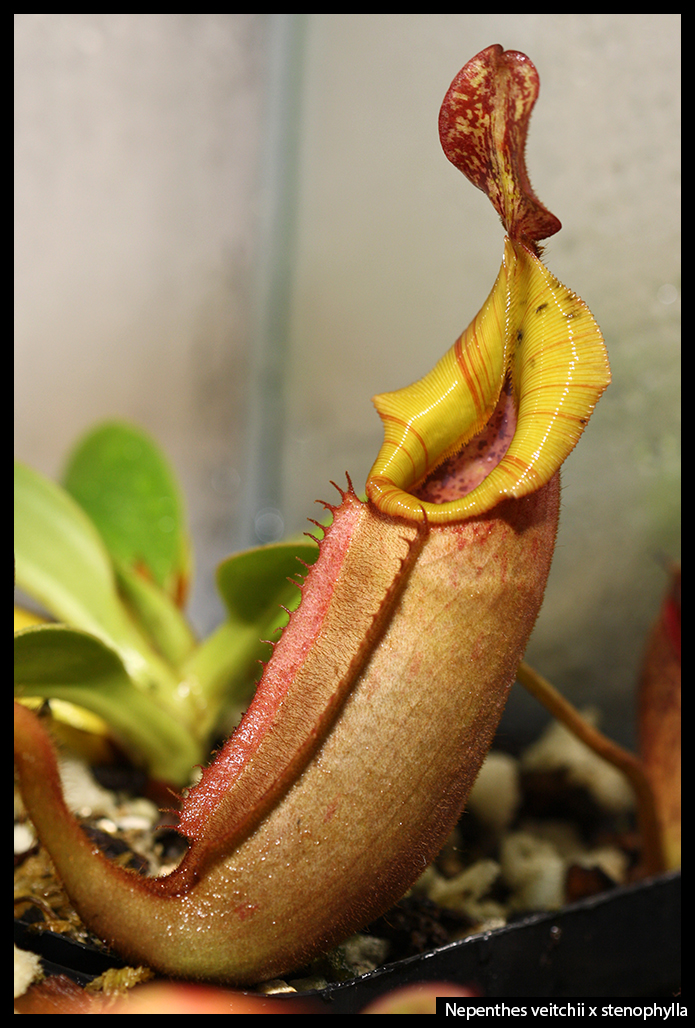 Nepenthes veitchii x stenophylla
