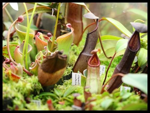 Nepenthes-Kannen 2015-2018