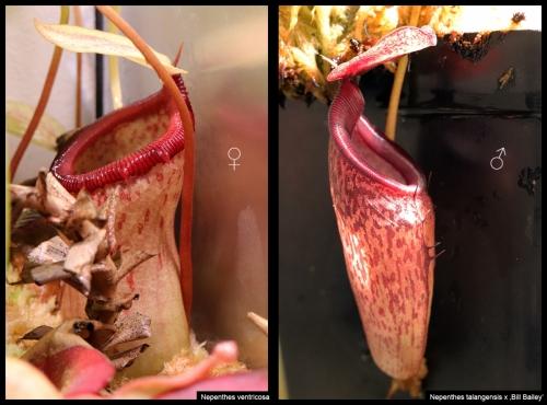 N ventricosa talangensis BillBailey III