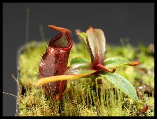 Nepenthes angasanensis Juli 2015