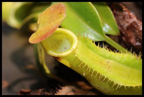 Nepenthes gracilis {Genting Highlands} Dezember 2018