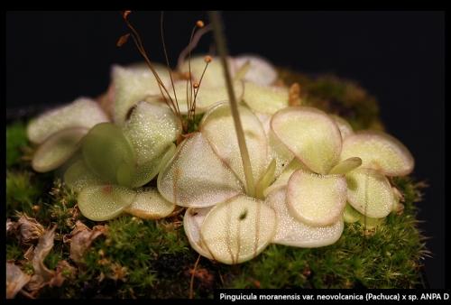 P moranensis neovolcanica Pachuca ANPAD I