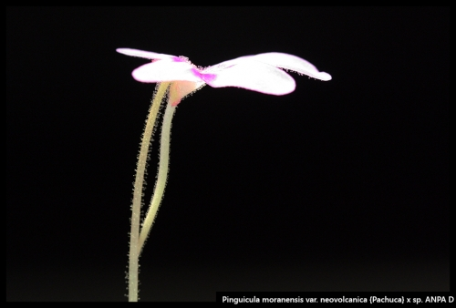 P moranensis neovolcanica Pachuca ANPAD IV