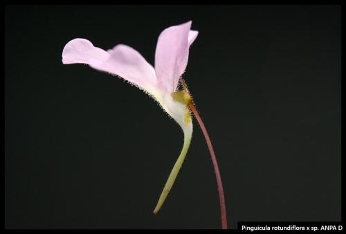 P rotundiflora spANPAD
