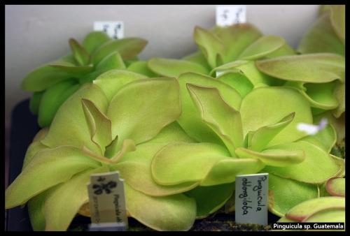 P spGuatemala Pflanzen