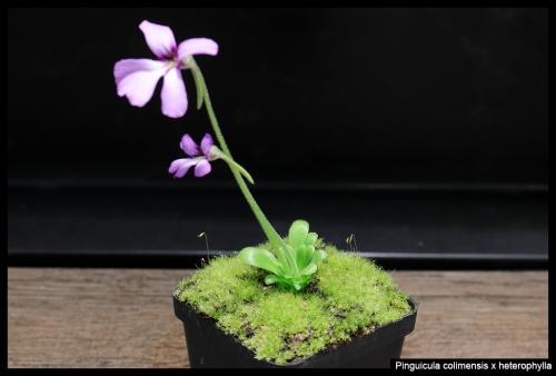 P colimensis heterophylla