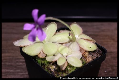 P rectifolia moranensis neovolcanica Pachuca
