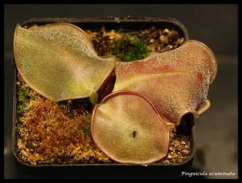 acuminata1 pfl
