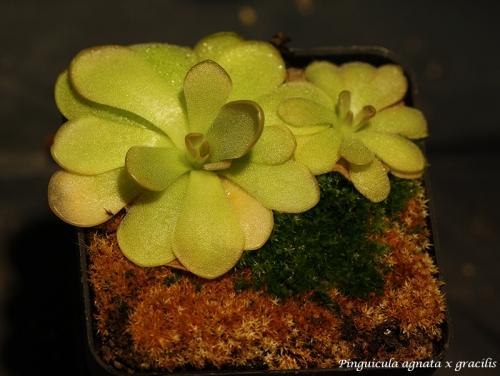 agnata x gracilis pfl