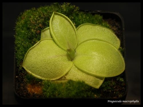 macrophylla pfl