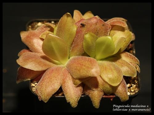 medusina ehlersiae moranensis pfl