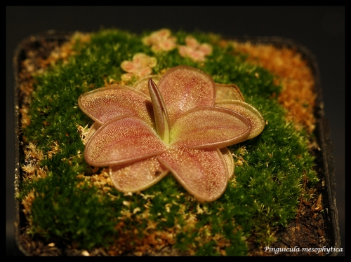 mesophytica pfl