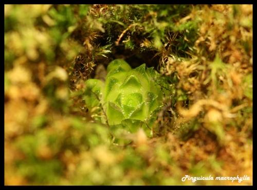 macrophylla